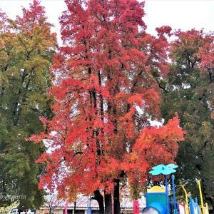 フウ(楓)のグラデーション紅葉