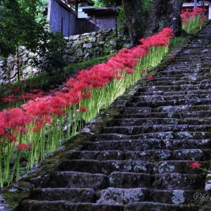 今年も仏隆寺の彼岸花を!