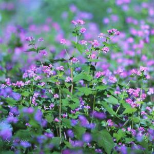 石舞台展望台・紅い蕎麦の花