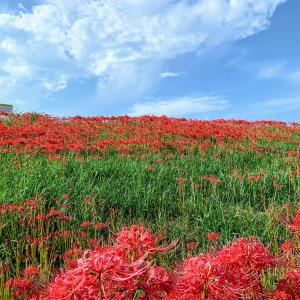 ごんの秋祭り 300万本の彼岸花を見て来ました~