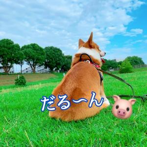 愛犬コーギー(コウちゃん)はコロナ太りではなく、梅雨太りの巻