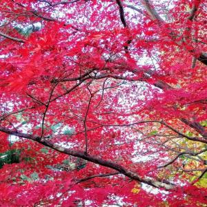 今度は、昼間に旧下田邸庭園で、紅葉の写真を撮影してみました。Huawei honor9にて