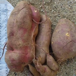 プリンス 超特大のイモを掘る