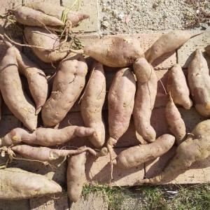 お芋掘りと間引菜