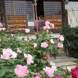 早すぎる梅雨入り、《おふさ観音》のバラ