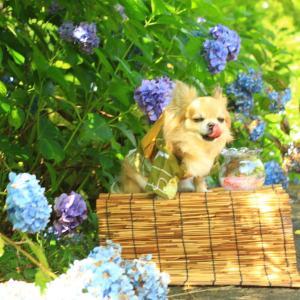 紫陽花の季節ってか