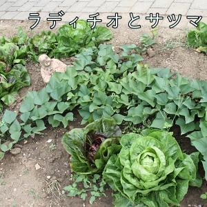 家庭菜園 ラディチオ収穫