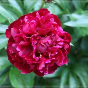 芍薬の花が咲いたよ&ジョウビタキの鳴き声