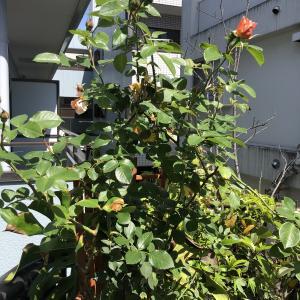 【ベランダガーデニング】お花も気持ち良く咲くためにしたこと♪