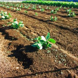 化学肥料の使用で野菜の栄養が不足する!?