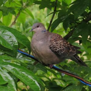 自然食研究所の裏庭に住み着いた山鳩