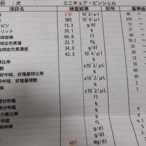 ☆★お犬様の闘病記・・・糖尿病、クッシング症候群、、その14・・・肝臓の数値が測定可能上限を超えてたよ