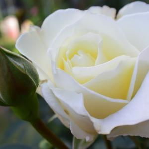 今日の開花は