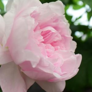 今日開花のバラは