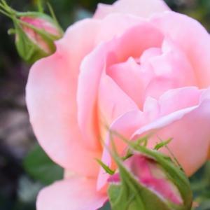 今日の開花のバラは