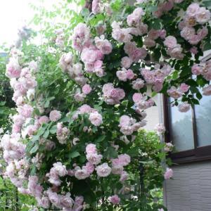 アルカタ ピンク グローブというバラ