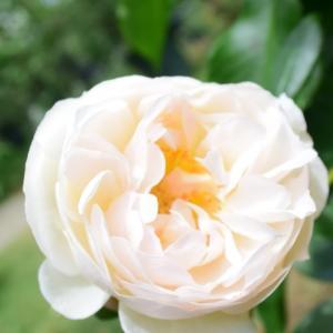 シャンタル トーマスというバラ