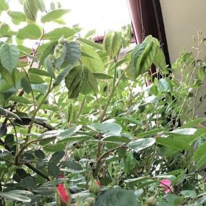 コーネリア が、咲いた