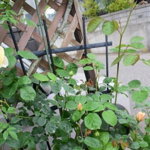 ERジェーン オースチンの開花