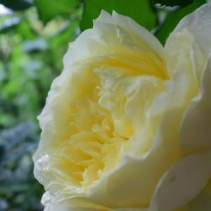 綺麗に咲いた ジュリエット