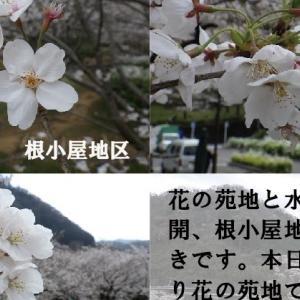サクラ開花情報!第9弾