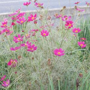 風に揺らぐ花・コスモス・・・3