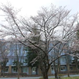 昭六会・昭和6年ご卒業の先輩の記念樹・桜 2020.4.14
