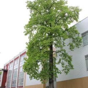 米沢キャンパスのユリノキ・百合の樹