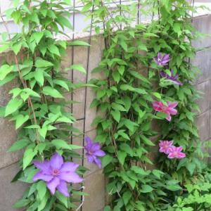 隣家に咲くテッセン・鉄仙&石楠花