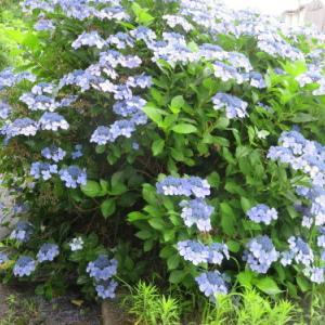 小野川温泉、大樽川沿いに咲く 紫陽花 5