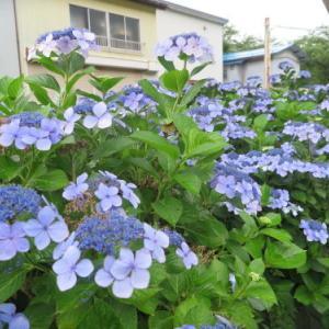小野川温泉、大樽川沿いに咲く 紫陽花 4