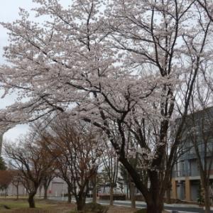 米沢キャンパスの桜 2021.4.14