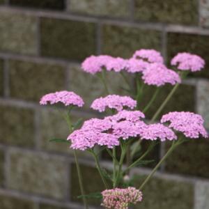 ご近所と自宅の花を撮影 2021.6.12