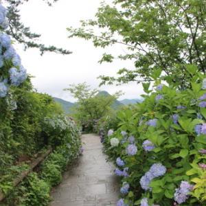下田公園の日本一の紫陽花・20