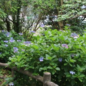 下田公園の日本一の紫陽花・27