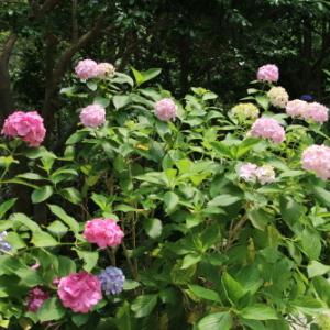 下田公園の日本一の紫陽花・30