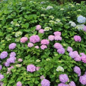 堂森・善光寺の雨に咲く紫陽花・5・・・完