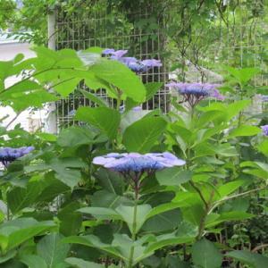 温海(あつみ)川沿いに咲く紫陽花(7)