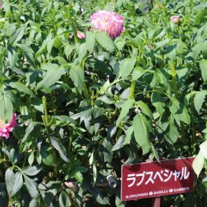 咲いてます!川西ダリヤ園・・・3