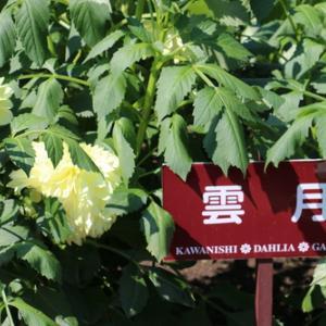 咲いてます!川西ダリヤ園・・・5