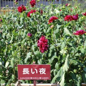 咲いてます!川西ダリヤ園・・・4