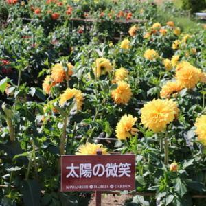 咲いている川西ダリヤ園・・・15