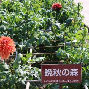 咲いてます!川西ダリヤ園・・・20