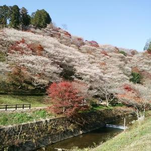 桜と紅葉の共演!🌸🍁秋に咲く桜、四季桜