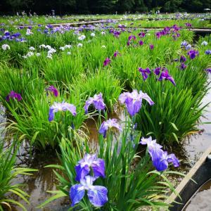 北山公園の菖蒲園✨