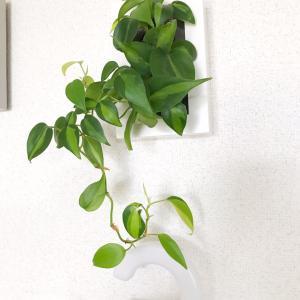 すくすく育ってます!無印の『壁にかけられる観葉植物』