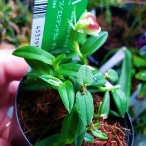 花咲く、小型着生ラン