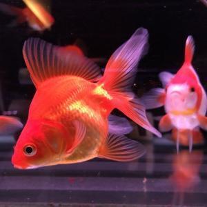 金魚コーナーからおすすめ金魚をご紹介!