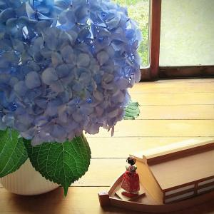 ジャンボ紫陽花