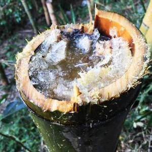ふしぎな竹酒 稈の中にたまった糖液がアルコール発酵